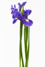 Two Iris On White Background