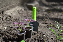 Planting Young Flowers, Seedli...