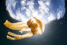 A Golden Jellyfish, Mastigias ...