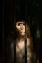 A Look Of Sadness In The Eyes Of A Monkey As A Result Of Being Placed In A Cage In The Zoo