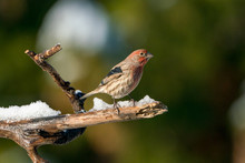 House Finch On A Branch In The...