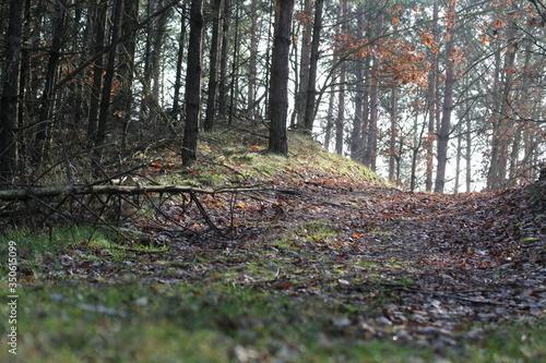 Obraz bory,drzewa,jesienią,krajobraz,zieleń,droga,sosna,liście,las,rośliny - fototapety do salonu