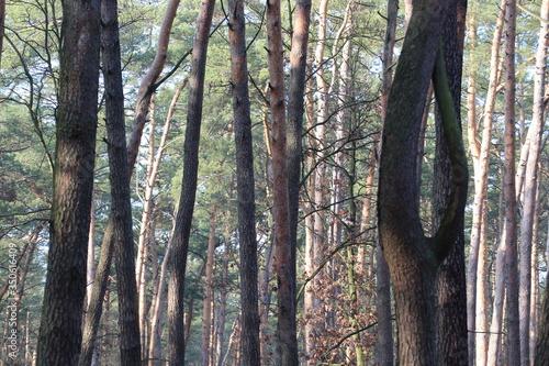 Obraz drzewa,drewno,las,krajobraz,sosna,zieleń,brzoza,słońce - fototapety do salonu