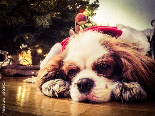 Obraz na plátne Close-up Portrait Of Cavalier King Charles Spaniel Relaxing Outdoors