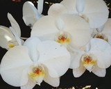 Fototapeta Kuchnia - Macro Shot Of White Orchid Blooming