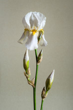 A Single White Bearded Iris Flower With Buds Isolated Against A Plain Neutral Background