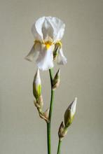 A Single White Bearded Iris Fl...
