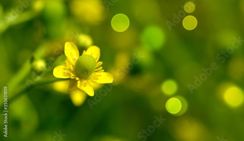 Photo Common Buttercup, alkali buttercup,wild, flowering plants in Ranunculaceae family