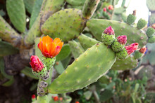 Prickly Pear Cactus With Pink And Orange Flowers In Bloom - Closeup Beautiful Wallpaper