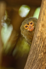 Pygmy Marmoset - Cebuella Pygmaea, Endangered Primate From South American Forests And Woodlands, Brazil.