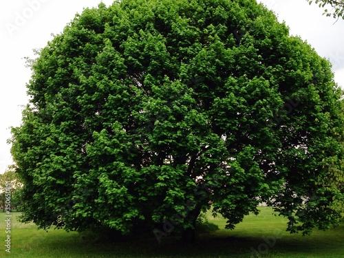 Fototapeta Huge Tree On Field obraz