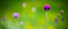 Spring Web Banner With A Single Purple Spring Flower Of Decorative Onion In Focus On A Blurry Background Of Dandelion Grass