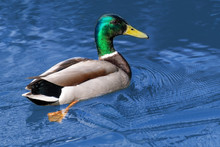 Male Canadian Duck Bird Swimmi...