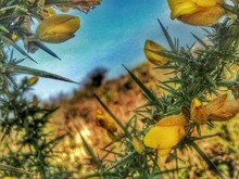 Close-up Of Yellow Gorse Flowers