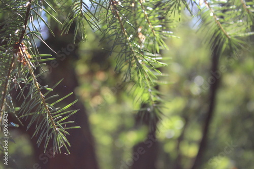 Foto Close-up Of Pine Tree Branch