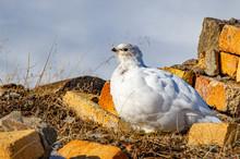 Rock Ptarmigan. The Only Bird Which Overwinter On Svalbard. White Bird