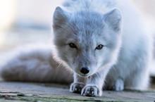 White Arctic Fox In The Russia...