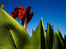 Bright Red Canna Flower With B...