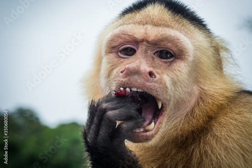 Fotografering Close up of a Panamanian white-faced capuchin monkey eating fruit