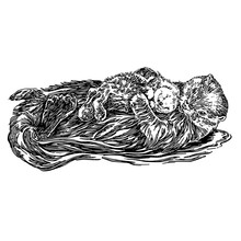 Swimming Sea Otter With Baby. Sketch. Engraving Style. Vector Illustration.