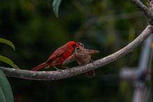 Male Northern Cardinal Feeding Juvenile