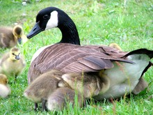 Canada Goose With Goslings On Grassy Field