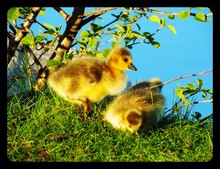 Close-up Of Two Young Ducklings In Grass By Plant
