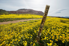 A Desert In Full Wildflower Bloom After Recent Rains In The Cali