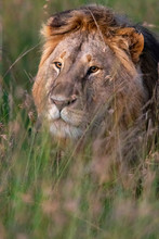 A Lion In The Tall Grass In The Early Morning