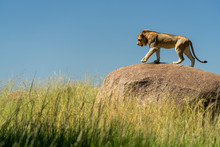 A Young Male Lion Walks On A R...