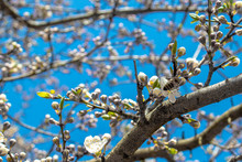 Blooming And Blossoming Apple Or Plum Tree Branches With White Flowers On A Sunny Spring Day With Blue Sky Like Blooming Almond Trees Van Gogh Style