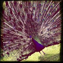 Peacock On Grass