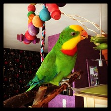Superb Parrot Perching On Stick At Home