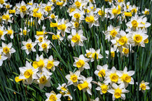Classic White And Yellow Daffodils Growing, And Blooming, Is A Sunny Garden