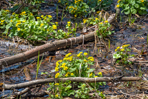 Photo spring yellow marsh marigold plants in woods