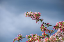 Ornamental Tree Blooming, Pink And White Flowers, Against A Stormy Sky Background