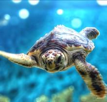 Portrait Of Turtle Underwater At Monterey Bay Aquarium