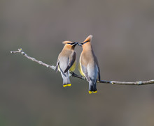 Two Cedar Waxwing Perched On T...