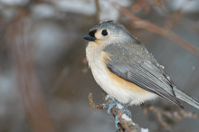 Tufted Titmouse In Snowstorm; ...