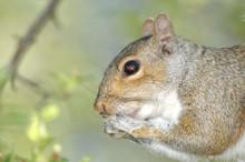 Gray Squirrel (Sciurus Carolin...