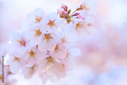 Closeup of cherry blossom in Japanese park