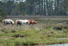 Assateague Island National Seashore Wild Ponies Grazing In A Marsh