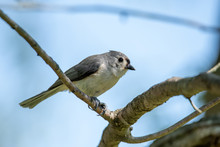 Tufted Titmouse On A Branch