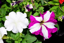 Two Petunia Flowers Are Two-tone And One Color Is White.