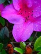 canvas print picture - Close-up Of Water Drops On Pink Flower