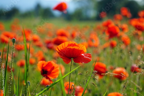 Fototapety, obrazy: Close-up Of Poppy Blooming On Field