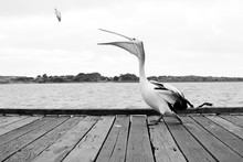 Pelican Catching Fish On Jetty