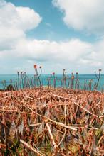 Aloe Vera Flowers On Hill