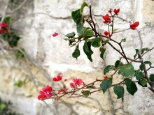 Close-up Of Bougainvillea Blooming On Tree