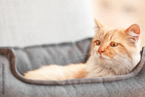 Cute funny cat lying in pet bed at home